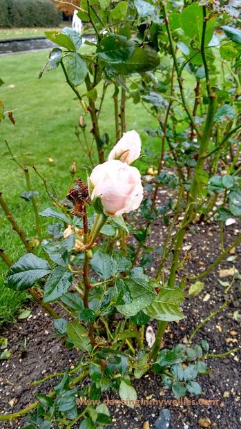 Winter Rose @ Hinton Ampner
